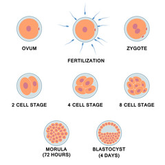 Development of the human embryo.