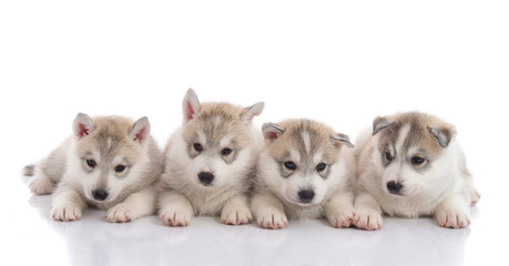 Group of Siberian husky puppies in front of white background