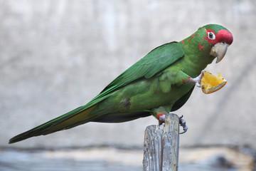 Fototapete - Mitred parakeet (Psittacara mitrata).
