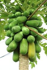 Papaya green fruit