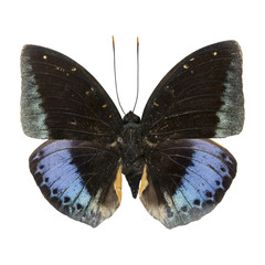 male Common Archduke