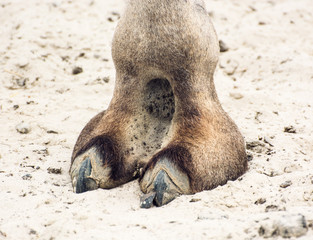Camel's hoof detail