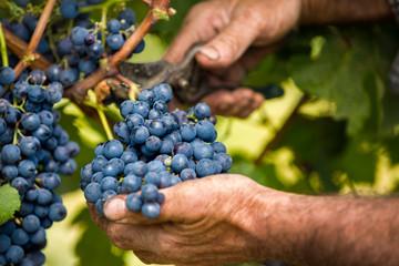 Grapes harvest Fototapete