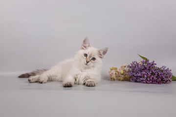 Small Siberian Neva Masquerade kitten lying on gray background. Branch of lilac.