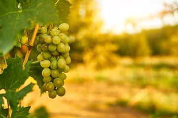White ripe grape clusters Fototapete
