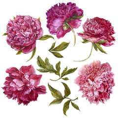 Set of watercolor dark pink peonies, separate flower leaf sprigs