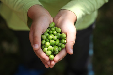 Fresh picked green peas held in boy hand.