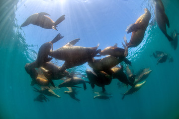group of Sea lion Seals