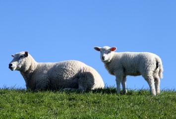 Schaf mit Lamm auf einem Deich in Nordfriesland