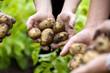 Hände beim Kartoffeln ernten