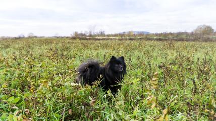 pomeranian dog german spitz outdoor