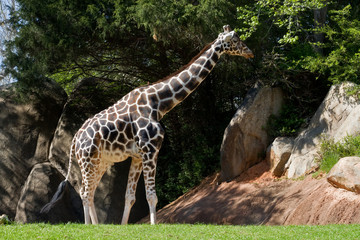 Giraffe Walking Around the Zoo