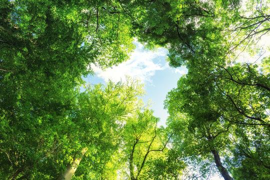 Baumkronen im Mischwald
