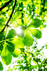 Chestnut leaves with real sun rays
