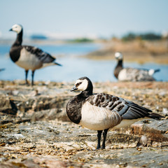 Barnacle Goose, Branta Leucopsis, Feral Goose On Rock