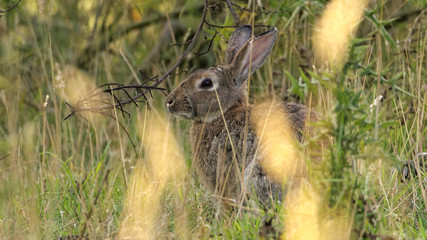 European rabbit also called the common rabbit (Oryctolagus cuniculus) living wild in the tall grass on the island of Bornholm (cropped version)