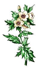 Hyoscyamus niger. Botany