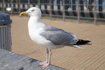 sea gull at the North Sea