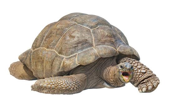 Seychelles giant tortoise isolated on white background