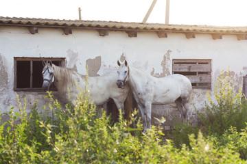 White horses animal photo  profile portrait.