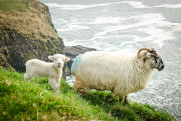 Mother sheep with baby lamb on grassy cliffs in Dingle, Ireland.