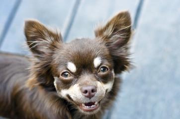 Resultado de imagen para chihuahua staring