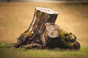 souche arbre