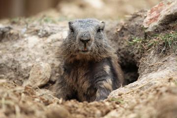Alpine marmot (Marmota marmota).