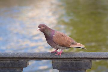 Portrait of a brown dove