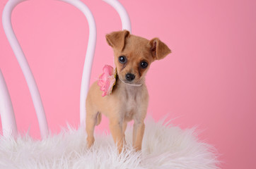 Tiny Chihuahua Female puppy with pink flower collar on chair