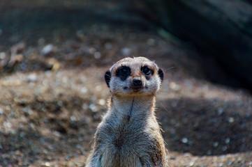 Close up of a Meerkat's face