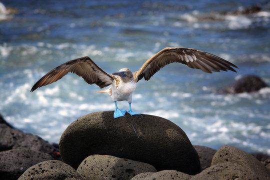 Blue footed booby, Galapagos, Ecuador