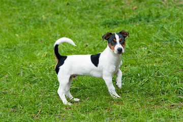 Jack Russell Terrier stands. The Jack Russell Terrier is on the grass in the park.