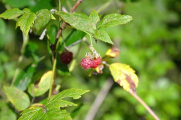 Forest raspberries.