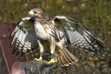Falke mit ausgebreiteten Flügeln