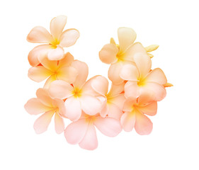 Beauty colorful of Frangipani or Plumeria flowers made with colorful filters.