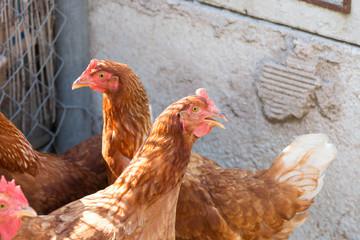 Galline rosse nel pollaio