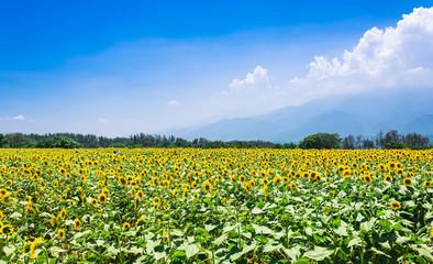 ヒマワリ畑と青空