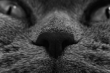 Funny muzzle of gray cat