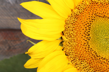Beautiful sunflower close up