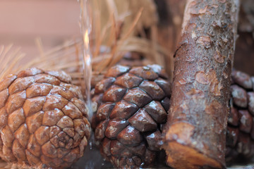 close-up of beautiful pine cones wet on a rainy day
