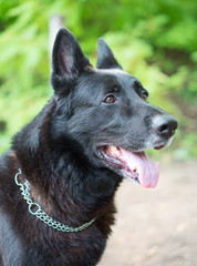 Portrait of black beautiful german shepherd outdoors.