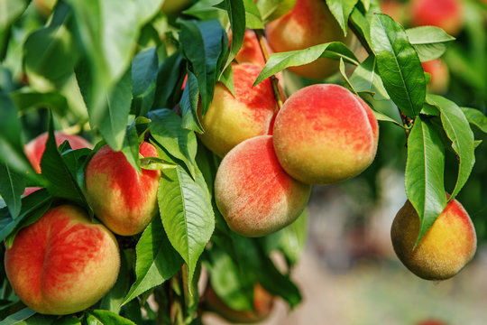 Ripe sweet peach fruits growing on a peach tree branch