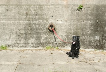 Dog tied to concrete wall