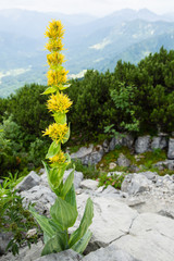 yellow gentian with alpine background