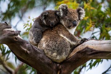 Canvas Prints Koala