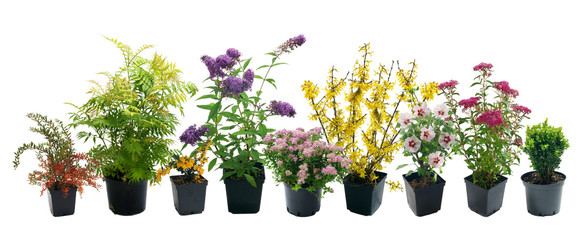 Fototapeta Shrubs in containers on a white background obraz