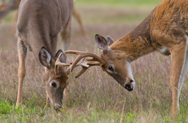 Two whitetail deer bucks with antlers locked in combat.
