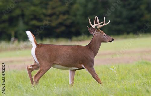 Tropy whitetail deer buck trotting across an open field.