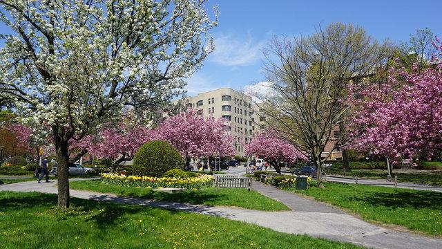 Cherry Blossoms in White Plains, New York